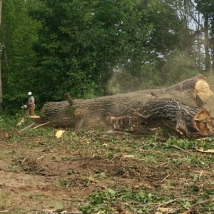 New Jersey tree removal service cutting down a huge tree action photo of it falling