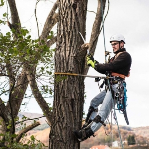 New Jersey Tree Removal Business cutting down a tree while hanging by ropes