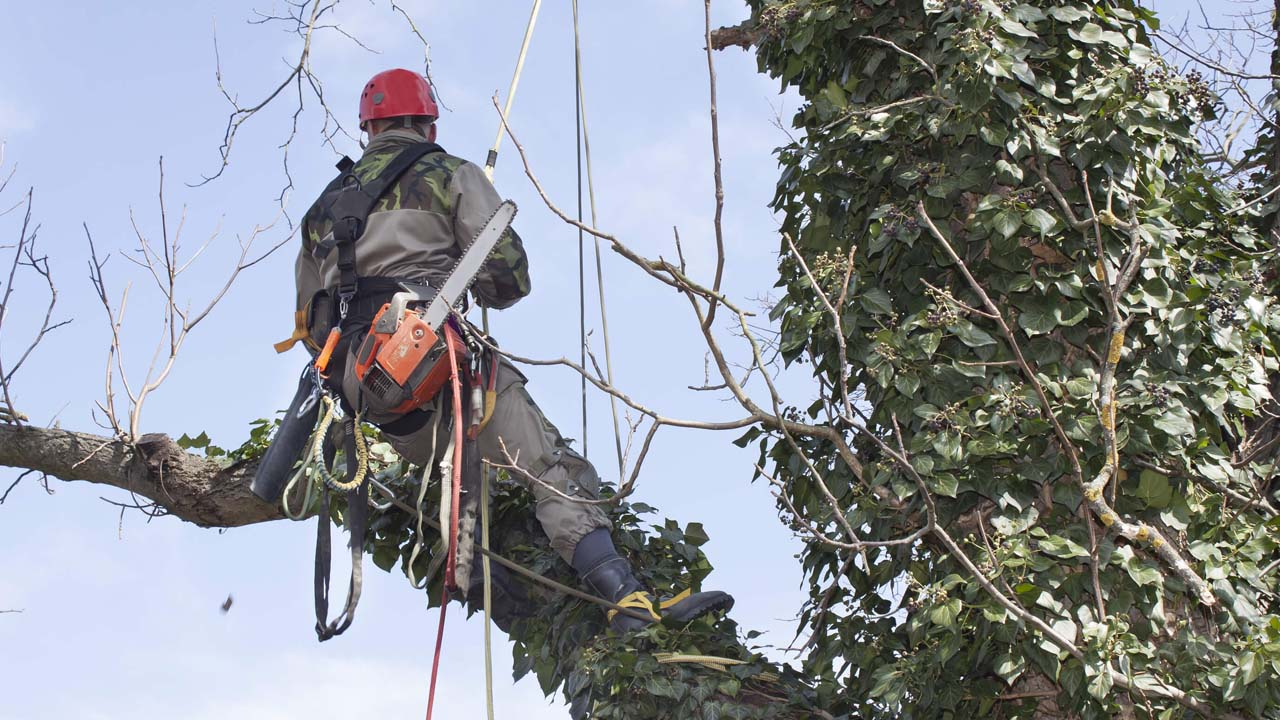 Tree removal service near me NJ worker hanging from a tree with chainsaw covered with ivy