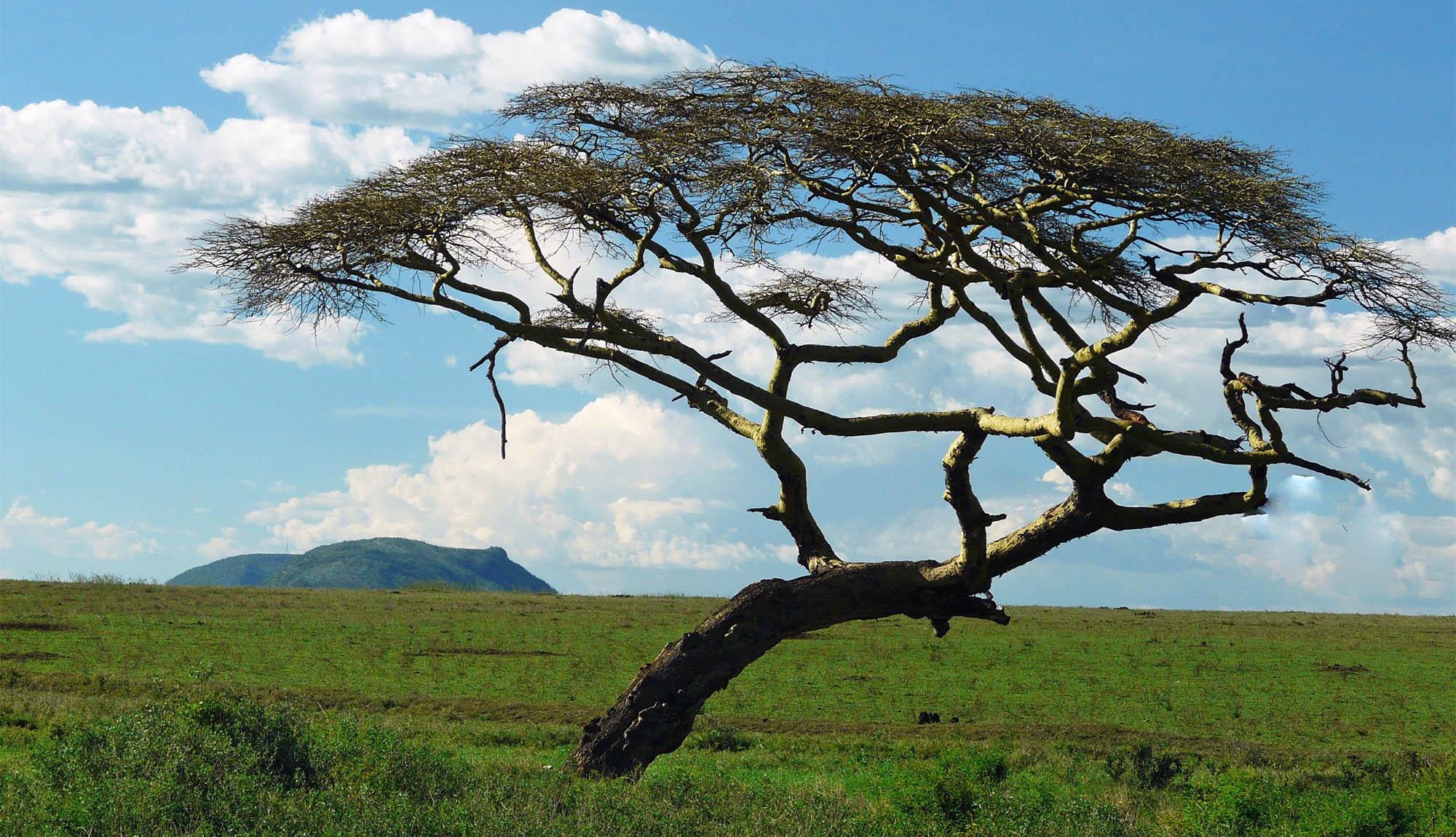 wild acacia tree in nature Australia