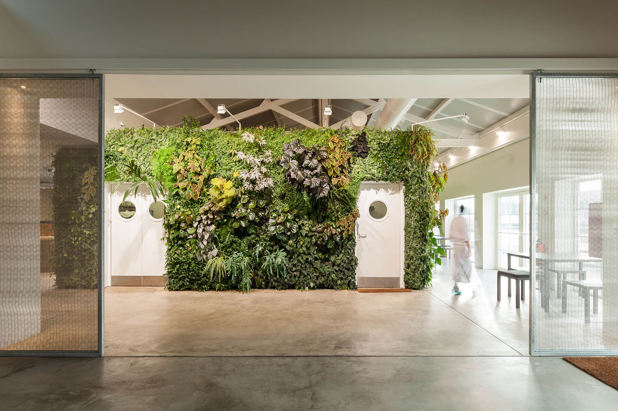 Thick living green wall inside an eatery surrounding the kitchen doors.